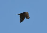 ハイタカ - 可愛い野鳥たち 2