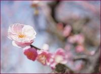 舞鶴城の梅がきれい! - PHOTO GALLERY Y&S MAKING