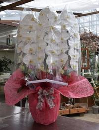 胡蝶蘭のラッピング - ヒバリのつぶやき