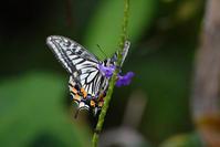 紫の花汁を吸うナミアゲハ - TOM'S Photo