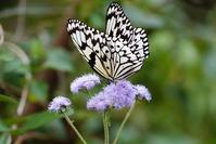花に埋もれるオオゴマダラ - TOM'S Photo