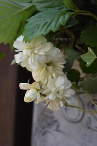 グリーンアイスとワイルドストロベリー - 小さな庭 2