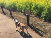 昼散歩の砧公園 - ミニチュアブルテリア ダージと一緒3