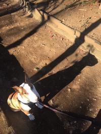 きのうと今日の朝散歩なんだけど - ミニチュアブルテリア ダージと一緒3