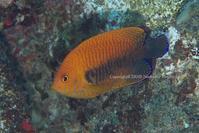 Potter's Angelfish - Diving Life ~Aita pe'a pe'a~