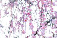 はる色ゆらり - 長い木の橋