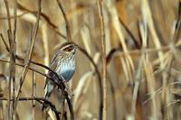 冬羽のオオジュリン - 比企丘陵の自然