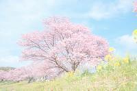 みなみの桜と菜の花 - カメラをもってふらふらと
