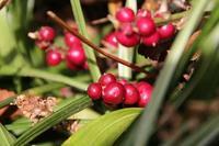 吉祥草の赤い実。スノードロップ、クリスマスローズ - 子猫の迷い道Ⅱ