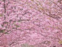 みなみの桜 - いや、だから 姉ちゃん じゃなくて ネイチャー・・・
