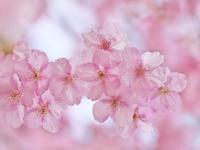みなみの桜に寄ってみる - いや、だから 姉ちゃん じゃなくて ネイチャー・・・