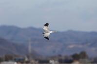 ハイイロチュウヒその22(近くを飛んだ) - 私の鳥撮り散歩