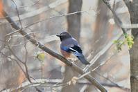 朝日の中のカケスさん - 鳥と共に日々是好日