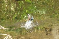 N川のカワセミ、めずらしい所で餌取り。その2 - 小川の野鳥達