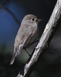 地味なコマドリ...ニシオジロビタキ - 野鳥...四季折々