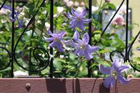 クレマチスを植え替え - my small garden~sugar plum~