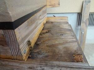 雄蜂の出現、分蜂が近づく。 - 鑑定士ハチの部屋
