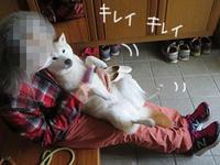 お腹ブラッシング珊ちゃん - 柴と徒然日記