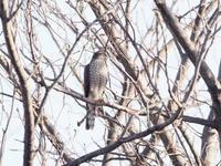梢のハイタカ - コーヒー党の野鳥と自然 パート2