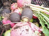 冬野菜の収穫 - 神戸布引ハーブ園 ハーブガイド ハーブ花ごよみ