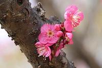 梅の花いろいろと、仏手柑(ブッシュカン) - 子猫の迷い道Ⅱ