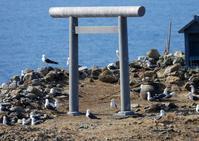 日御碕の経島~ウミネコ - なんでもブログ