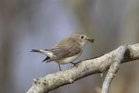 ニシオジロビタキ②餌取上手 - 気まぐれ野鳥写真