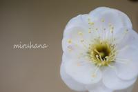 湯河原梅林*現在7分咲き - MIRU'S PHOTO