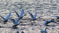 一斉に発進する白鳥達を目の前で撮るのはやはりドキドキだな♪ - 『私のデジタル写真眼』