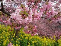 「河津桜と菜の花 Ⅰ」まつだ桜まつり - こころ絵日記 vol.1