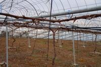 シャインの剪定が終わりそうです。 - ~葡萄と田舎時間~ 西田葡萄園のブログ