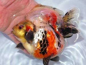 2月21日 新着情報のご案内です。 - フルタニ金魚倶楽部blog