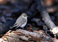いつのまにか...ニシオジロビタキ - 野鳥...四季折々