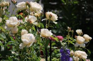 ウィンダーメアの剪定*ヒヤシンスの香り - my small garden~sugar plum~