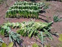 スイセンの葉っぱ 編んだのが枯れるとこんな感じ - 空ヤ畑ノコトバカリ