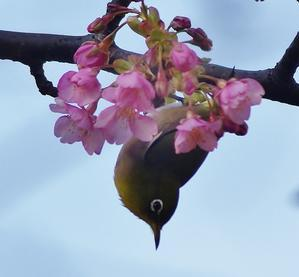 春を待つメジロ @湯河原・真鶴 - たんぶーらんの戯言