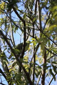 高い木の枝にアオバトです。 - 平凡な日々の中で