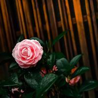 ・pink camellia japonica・ピンクの椿 - - Foliage & Blooms'葉と花' pics. -