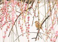梅ジョビ - ゆるゆる野鳥観察日記