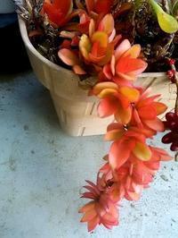我が家の多肉植物:紅葉美しき3種 - 健気に育つ植物たち