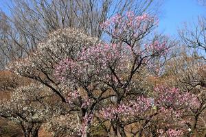 梅を観に -
