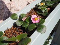 ワイルドストロベリーが開花し始めました - 神戸布引ハーブ園 ハーブガイド ハーブ花ごよみ