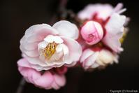 春を想いて - ひつじ雲日記
