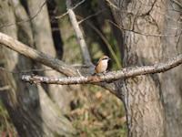 散歩道の鳥たちモズビンズイシジュウカラツグミ - 里山の四季