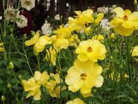 Ranúnculo Rax - Gardener*s Diary