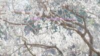 御所に行く2月-3 - 写楽彩2