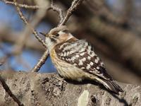 Japanese  Pygmy Woodpecker:コゲラの高精細画像 - 『私のデジタル写真眼』