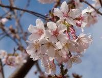 やっと咲きだしました、玉縄桜 - ソナチネアルバム