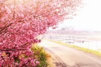 桜並木・1 - 暮らしの中で