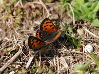 2月の新生蝶3種 - 風任せ自由人